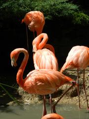 Flamingos#3 - Flamingo, Vögel, Kubaflamingo, Hals, Schnabel, rosa, Wasser