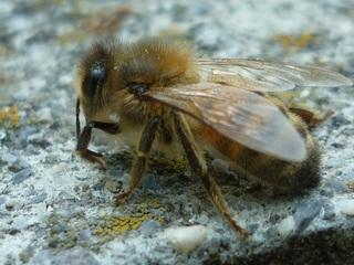 Biene_1 - Nawi, Bienen, Insekten, Honig, Hautflügler, Stachel, staatenbildend, Biene, Imme