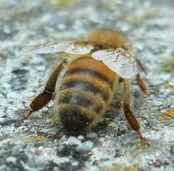 Biene_2 - NaWi, Bienen, Insekten, Honig, Hautflügler, Stachel, Hinterteil, Flügel, Insekt, Tier