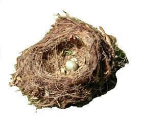 Amselei im Nest - Amsel, brüten, Ei, Vogel, Nest, Frühjahr