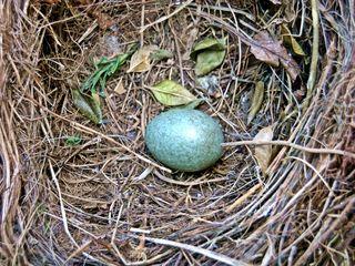 Ei im Nest - Ei, Nest, Amsel, Vogelei, brüten, Vogel