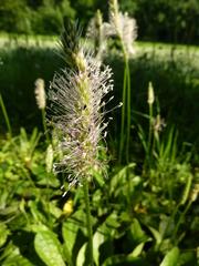 Wegerich - Plantago lanceolata, Wegerich, Spitzwegerich, Blüte, Blütenstand, Spießkraut, Lungenblattl, Athelas, Königskraut, Schlangenzunge, mehrjährig, krautig, blühend