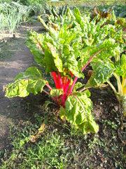 Mangold - Mangold, Krautstiel, Stielmangold, Rippenmangold, Gemüse