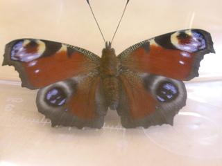 Tagpfauenauge: Von der Raupe zum Schmetterling - Schmetterling, Tagpfauenauge, Sachunterricht, Entwicklung, Falter, Schmetterlinge, Insekten, flattern, leicht, bunt