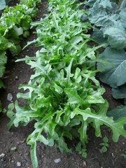 Radichetta - Salat, Kopsalat, Radichetta, Blattsalat, Blattgemüse, Kulturpflanze