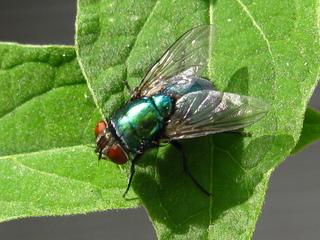 schillernde Persönlichkeit, Fliege #1 - Augen, Körperteile, Insekten, Fluginsekt, Zweiflügler, Sechsfüßer, Fliege, Flügel, Hautflügel, Netzaugen