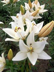 Lilie  Königslilie - Lilie, Lilienblüte, Garten, Blüte, Pflanze, Blütenstempel, weiß, Stempel, Blütenblätter, Staubblätter, Knospe, Trompetenlilie, Garten, Schnittblume, Blütenstand, Dolde, trichterform