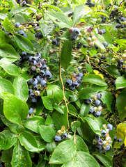 Heidelbeere #2 - Heidelbeere, Heidelbeeren, Blaubeere, Blaubeeren, Kulturheidelbeeren, Zucht, Sträucher, Strauch, Plantage, blau, Frucht, Obst, Beeren, reif, unreif