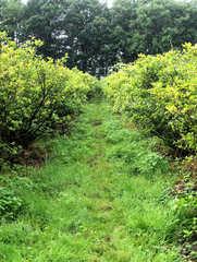 Heidelbeere #4 - Heidelbeere, Heidelbeeren, Blaubeere, Blaubeeren, Kulturheidelbeeren, Zucht, Sträucher, Strauch, Plantage, Obstanbau, blau, Frucht, Obst, Beeren, reif, unreif