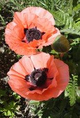 Mohnblüten - Wildpflanze, Zuchtform, kultiviert, Mohnblüte, Mohnpflanze, Mohn, Fruchtknoten, Staubblätter, Kapselfrucht