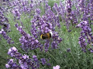 Hummel auf Lavendel - Hummel, Stechimme, Wehrimme, Bestäuberinsekt, Lavendel