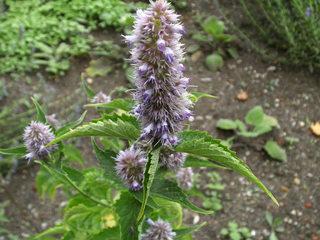 Koreanische Minze - Koreanische Minze, Duftnessel, Gartenstaude, Bauerngartenstaude, Schnittblume, Bienenweide, Duftpflanze, Teepflanze