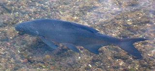 Süßwasserfisch - Fisch, Flossen, Schuppen, schwimmen, Wasser, Süßwasser, Karpfenfisch