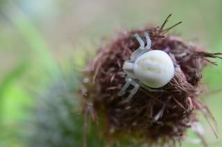 veränderliche Krabbenspinne - Spinne, Spinnentier, Gliederfüßer, Webspinne, Krabbenspinne, Misumena vatia, weiß