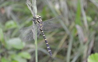 gestreifte Quelljungfer Libelle #1 - gestreift, Quelljungfer, Libelle, Libellen, Großlibelle, Edellibellenartige, schwarz, gelb, Cordulegaster bidentata