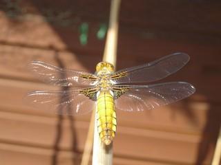 Libelle Plattbauch weiblich - Libelle, Libellen, Großlibelle, Segellibelle, Weibchen, gelb