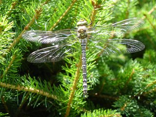 Blaugrüne Mosaikjungfer Libelle - Libelle, Großlibelle, Edellibelle, Aeshna cyanea, blaugrün