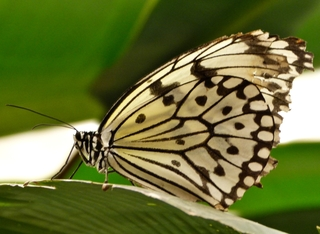 Schmetterling Weiße Baumnymphe - Schmetterling, Edelfalter, Idea leuconoe