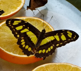 Schmetterling Malachitfalter - Schmetterling, Edelfalter, Siproeta stelenes