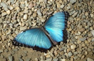 Blauer Morphofalter - Schmetterling, Edelfalter, fliegen, blau, selten, Schmetterlingspark
