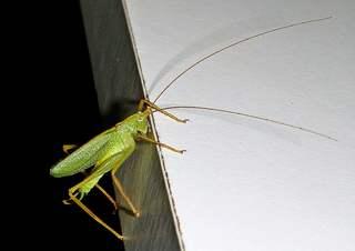 Gemeine Eichenschrecke  - Schrecke, Fühler, Langfühlerschrecke, Flügel, grün