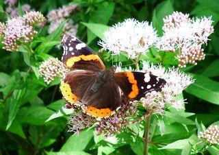 Schmetterling - Admiral - Schmetterling, Falter, Admiral