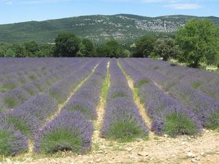 Lavendelfeld - Nutzpflanze, Lavendel, Tourismus, Sehenswürdigkeit, Frankreich, Provence, Schreibanlass, Lippenblütler, Heilpflanze, Duftpflanze, Duft, Landwirtschaft, Agrarwirtschaft