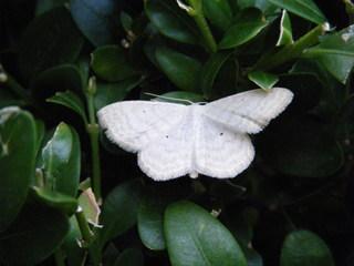 Vierpunkt-Kleinspanner - Wegerich-Kleinspanner, Nachtfalter, Spanner, Schmetterling