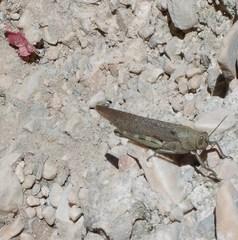 Zikade - Zikaden, Auchenorrhyncha, Insekt, Gleichflügler, Trommelorgan