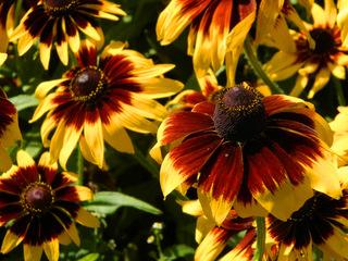 Rudbeckien#2 - Rudbeckien, Korbblütler, orange, gelb, Rudbeckia hirta, Zierplanze, Gartenpflanze, schwarzäugige Rudbeckie
