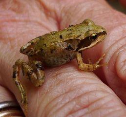 Frosch - Kröte, Frosch, wechselwarme Tiere, Amphibie, wechselwarm, hüpfen, feucht, glitschig, erdfarben, Märchen, Feuchtraumgebiet, Teich, Umweltschutz, Tarnung