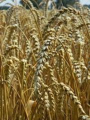 Weizen#2 - Getreidefeld, Weizen, Korn, Getreide, Ähre, Süßgras, Grundnahrungsmittel, Brotgetreide, Bedecktsamer, einkeimblättrig