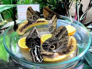 Bananenfalter #1 - Schmetterling, Edelfalter, Bananen, Bananenfalter, Augenflecken, Mexiko, Südamerika, Amazonas