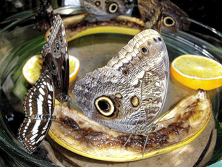 Bananenfalter #2 - Schmetterling, Edelfalter, Bananen, Augenflecken, Mexiko, Südamerika, Amazonas, Bananenfalter