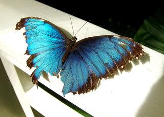 Blauer Morphofalter - blau, Morphofalter, Schmetterling, Edelfalter, Mittelamerika