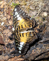 Brauner Segler - braun, Segler, Tagfalter, Schmetterling, Edelfalter, Asien