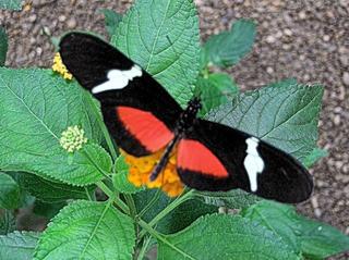 Postmann-Falter - Postmann-Falter, Großer Kurier, Passionsblumenfalter, Schmetterling, Edelfalter, Mittelamerika