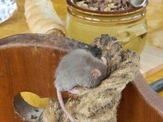 Maus schlafend - Maus, Nagetier, grau, Ohren, Schwanz