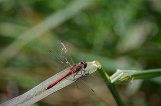 Heidelibelle - Libelle, Heidelibelle, rot, blutrot, Segellibellen, Großlibellen