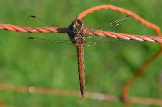 gemeine Heidelibelle (m) - Libelle, Heidelibelle, Segellibelle, Großlibelle