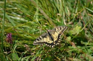 Schmetterling Schwalbenschwanz - Schmetterling, Schwalbenschwanz, Muster, Symmetrie, Papilionidae, Ritterfalter, Papilio machaon, gelb