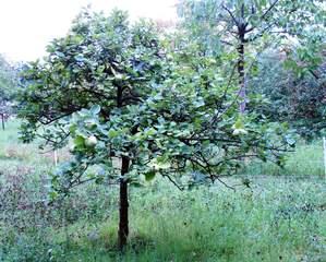 Quittenbaum - Quitte, Obst, Frucht, Marmelade, Kernobst, gelb, quittegelb