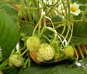 unreife Erdbeerfrüchte im Kraut - Erdbeere, krautig, Sammelnussfrucht, Frucht, Obst, unreif, Reifung