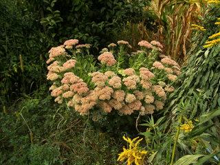 Große Fetthenne#1 - Fetthenne, Sukkulent, Dickblattgewächs, Staude, Zierpflanze, Bienenfütterpflanze