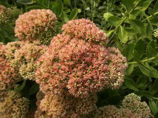Große Fetthenne#3 - Fetthenne, Sukkulent, Dickblattgewächs, Staude, Zierpflanze, Bienenfütterpflanze