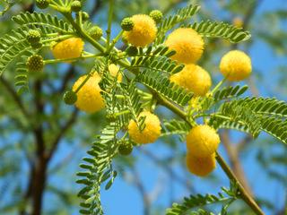 Mimose#2 - Baum, Silber-Akazie, Falsche Mimose, gelb, Acacia dealbata, Akaziengewächs, Blüten, Frühling