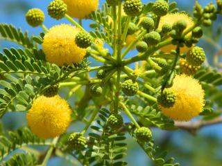 Mimose#4 - Baum, Silber-Akazie, Falsche Mimose, gelb, Acacia dealbata, Akaziengewächs, Blüten, Frühling