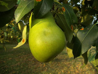 Birne - Birne, Birnen, Obst, Frucht, saftig, Kernobst