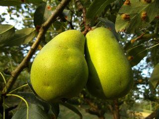 Birnen - Birne, Birnen, Obst, Frucht, saftig, Kernobst, Herbst