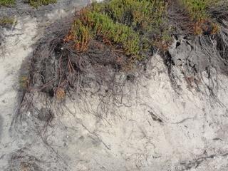 Dünenbepflanzung - Heide, Küstenschutz, Sand, Wurzeln, Sturmflut, Schutz, Verwehung, Dünenbefestigung